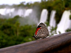 butterfly in iguazu falls
