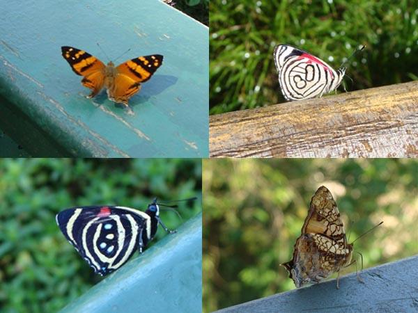 The batterflies in iguazu falls